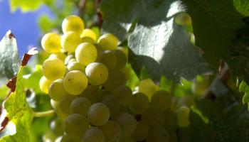 Polyfenolen uit druiven wellicht nuttig voor duursporters